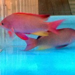 Anthias - Lyretail Male