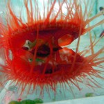 Electric Scallop