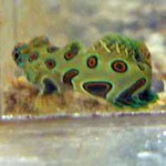 Goby - Mandarin (spotted) (2)-667