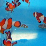 Occelaris Clownfish
