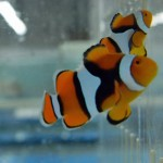 Super Black Percula Clownfish