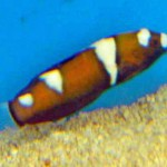 Wrasse - Red Fromosa-667