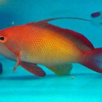 anthias - Lyretail (2)-667