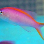 anthias - Purple Queen (female) 667