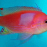 anthias - Squareblock (2)-667